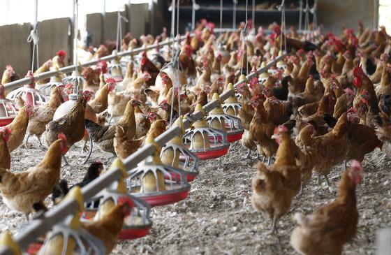계란과 닭에서 DDT 성분이 검출된 경북 영천시 도동 한 재래닭 사육농장. 이 농장은 완전 방사형은 아니지만 밀집형보다 닭의 사육 환경이 자유로운 상태다. 프리랜서 공정식