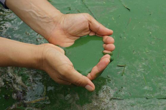 2017년 7월 낙동강에서 발생한 녹조. 녹색 물감을 풀어놓은 것 같다. 강찬수 기자
