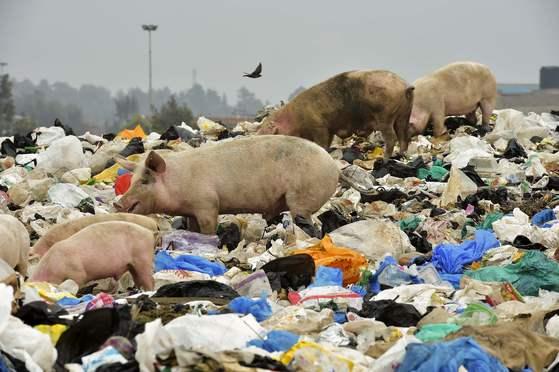 케냐 나이로비 외곽의 쓰레기하치장. 비닐봉지로 뒤덮인 이곳에서 돼지가 먹이를 찾고 있다. [AFP=연합뉴스]