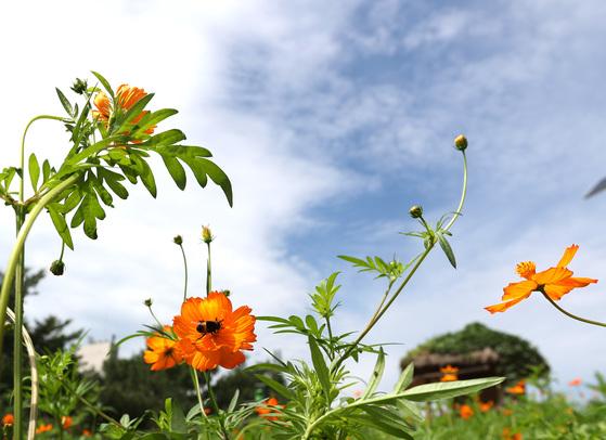 비가 그친 뒤 완연한 가을 날씨를 보인 29일 서울 올림픽공원 들꽃마루에 황화 코스모스가 피어있다. 우상조 기자