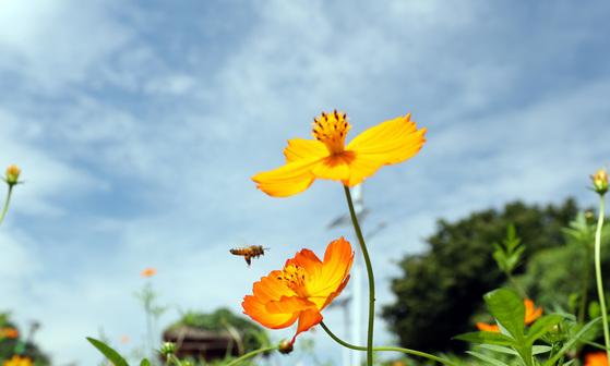 비가 그친뒤 완연한 가을 날씨를 보인 29일 서울 올림픽 공원 들꽃마루에 황화 코스모스가 피어있다. 우상조 기자