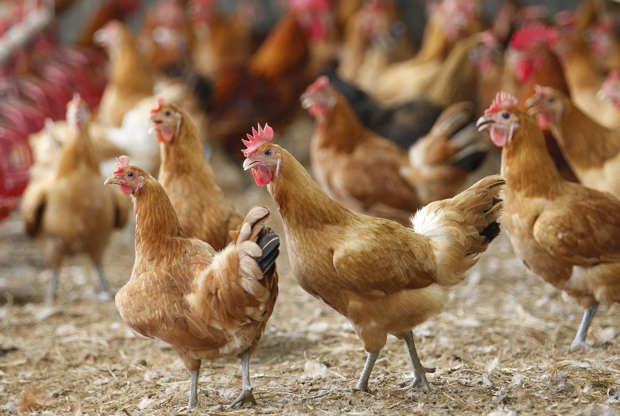 계란에서 DDT 성분이 검출됐던 경북 영천시 도동의 한 재래닭 사육농장. 이곳에서는 닭과 토양에서도 DDT 성분이 검출돼 DDT 오염 원인을 둘러싸고 의문이 커지고 있다. 프리랜서 공정식