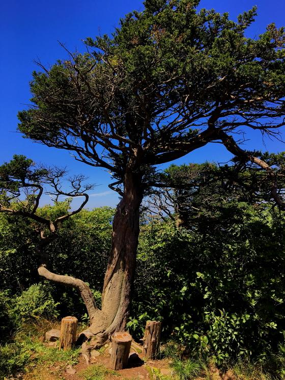 청명한 여름 하늘 아래 제각각의 모습으로 서있는 주목나무. [사진 하만윤]