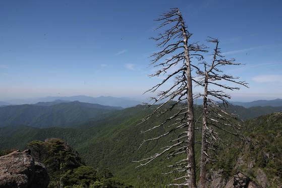 지리산국립공원 제석봉 일대의 고사목.송봉근 기자