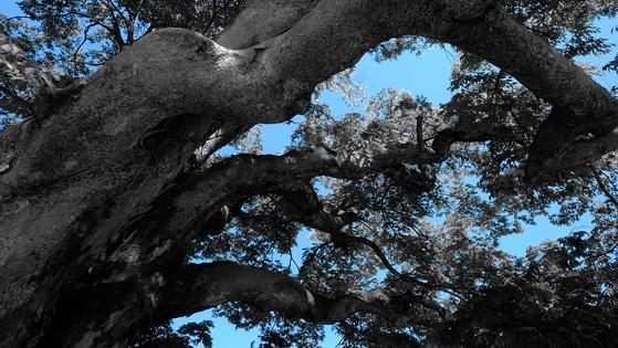 큰 태풍이 와도 잔가지 몇개와 이파리 나부랑이만 날려줄 뿐 끄떡 없는 용산리 느티나무. 제 나이에 어울리는 풍모와 오래 묵은 고요함이 부럽다. [사진 조민호]