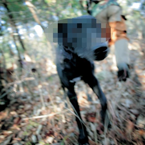 목줄하지 않은 사냥개들이 산책중이던 부부에게 달려들어 큰 상처를 입혔다. [중앙포토]