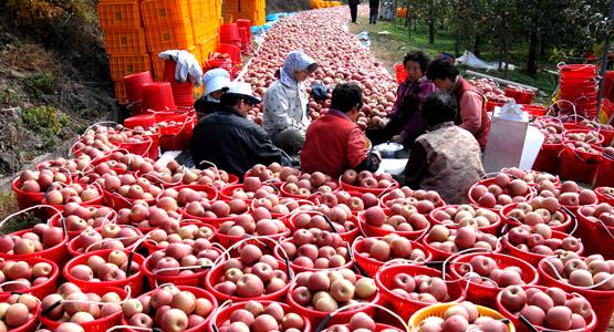 경북 청송군 한 사과 과수원에서 농민들이 사과 정리 작업을 하고 있다. [사진 청송군]