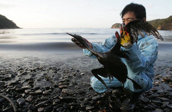 2007년 12월, 기름 유출 사고 이후 태안군 소원면 의항리 해변에서 발견된 뿔논병아리를 한종현씨(천수만습지센터 사무국장)이 수습하고 있다. [중앙포토]