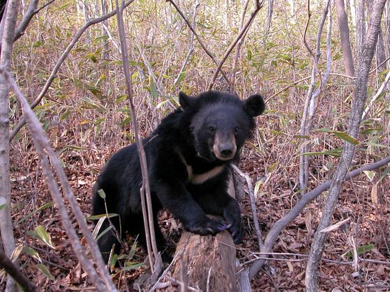 지리산에서 살고있는 반달가슴곰.[중앙포토]