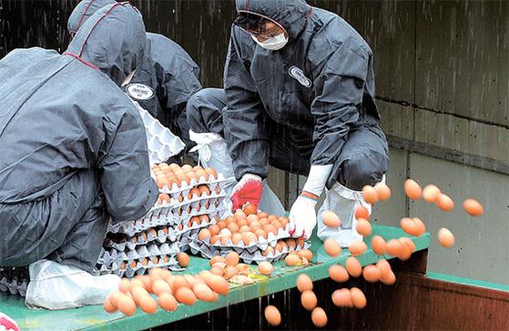 지난달 23일 경기도 광주시 산란계 농장에서 방역 관계자들이 비펜트린이 초과 검출된 계란을 폐기하고 있다. [연합뉴스]