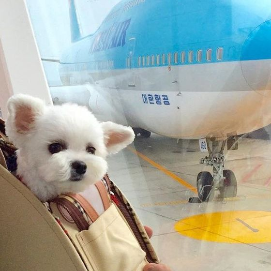 2016년 반려동물과 항공 여행을 떠난 건수가 3만7000건을 넘어섰다. 반려동물 동반 여행 수요가 늘어나면서 국내 항공사도 반려동물 운송 서비스를 신설하거나 강화하고 있다. [중앙포토]