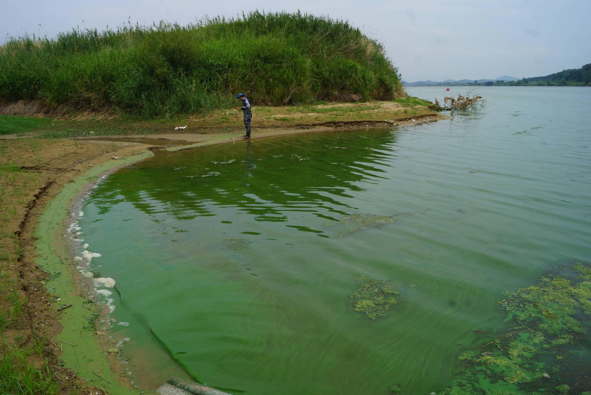 지난 7월 낙동강 구지 오토캠핑장 앞에 발생한 녹조. 일부 녹조생물은 독소를 생성하기도 한다.강찬수 기자