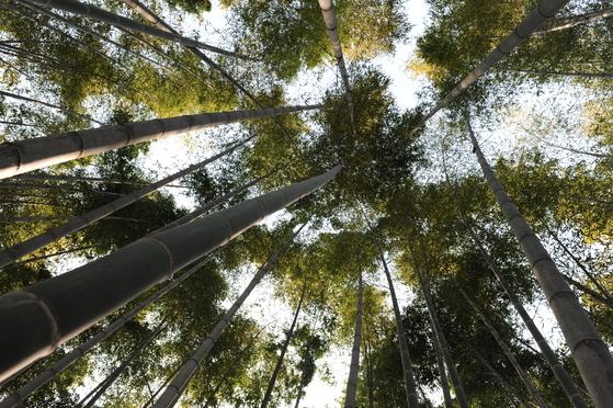 담양의 대숲. [중앙포토]