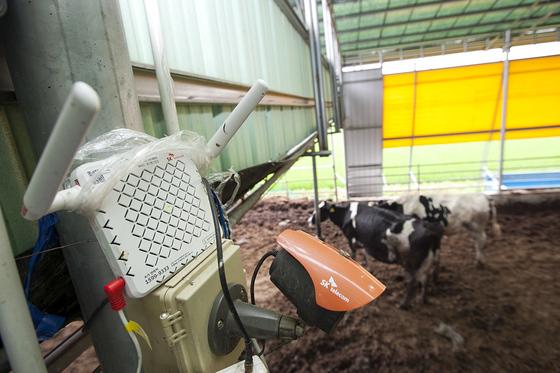 SK텔레콤은 소의 첫째 위(반추위)에 통신 센서를 달아 원격으로 소의 질병을 감지할 수 있는 사물인터넷(IoT) 기술을 축사에 적용했다. [사진 SK텔레콤]