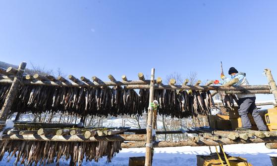 국민생선 명태는 동해 바다에서 자취를 감췄다. 러시아 해역에서 나고 자란 명태가 강원도 산자락으로 넘어와 얼고 녹기를 반복하며 한국의 맛을 품어 간다. 그렇게 명태는 황태가 된다.
