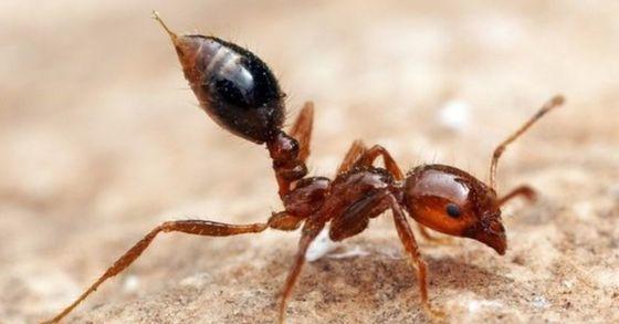 붉은독개미 [중앙포토]