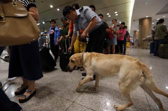 인천본부세관 마약 탐지견이 27일 인천공항 입국장에서 여행객들의 마약 반응을 탐지하고 있다.
