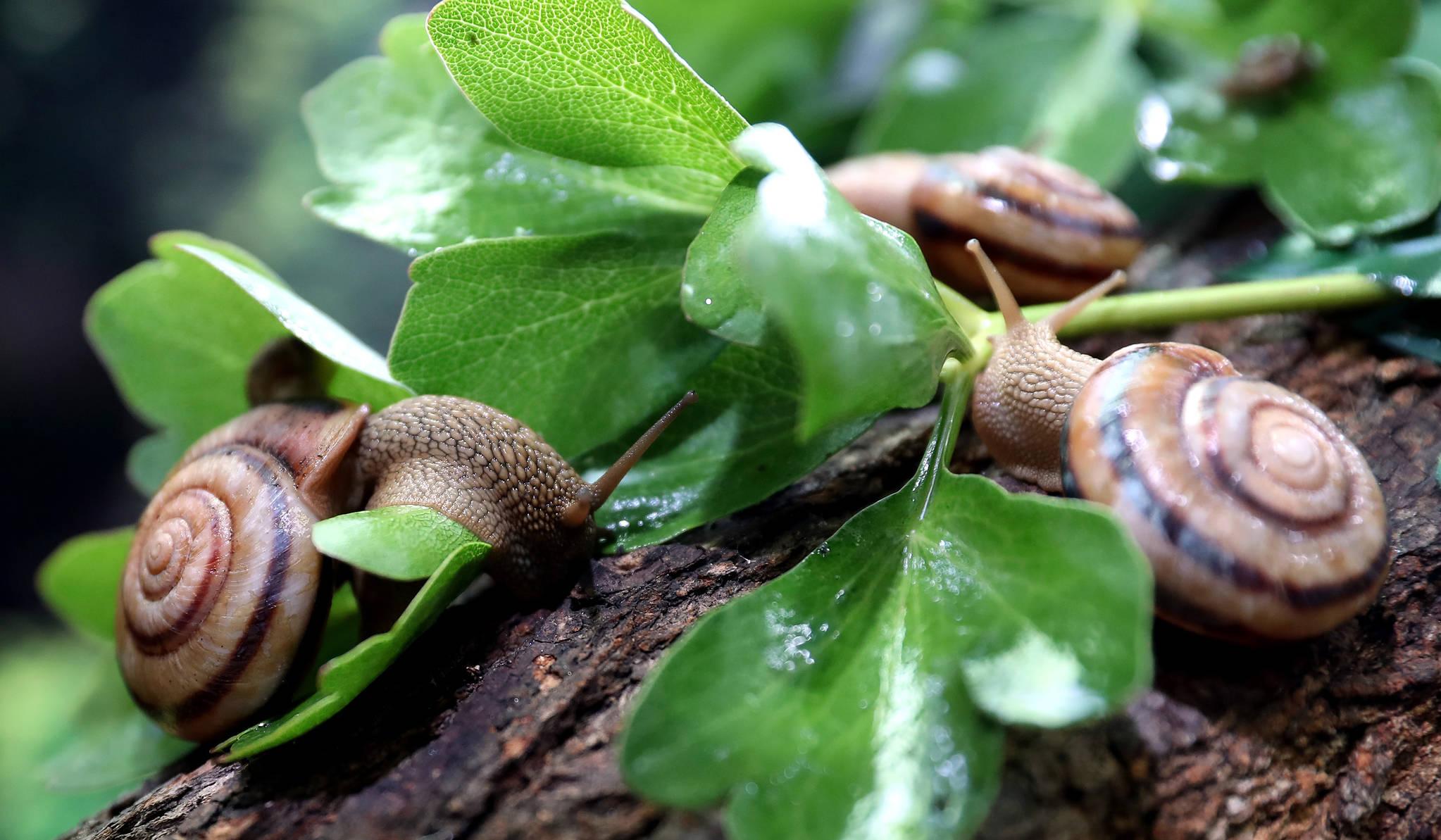 토종 달팽이인 동양달팽이가 먹이 활동을 하고 있다. 동양 달팽이는 흔히 볼 수 있는 명주달팽이와 달리 껍데기 높이 34 mm, 지름 50 mm로 토종 달팽이 중 크기가 가장 크다. 껍데기의 문양이 선명하고 아름다워 애완용 달팽이로 인기가 있다. 우상조 기자