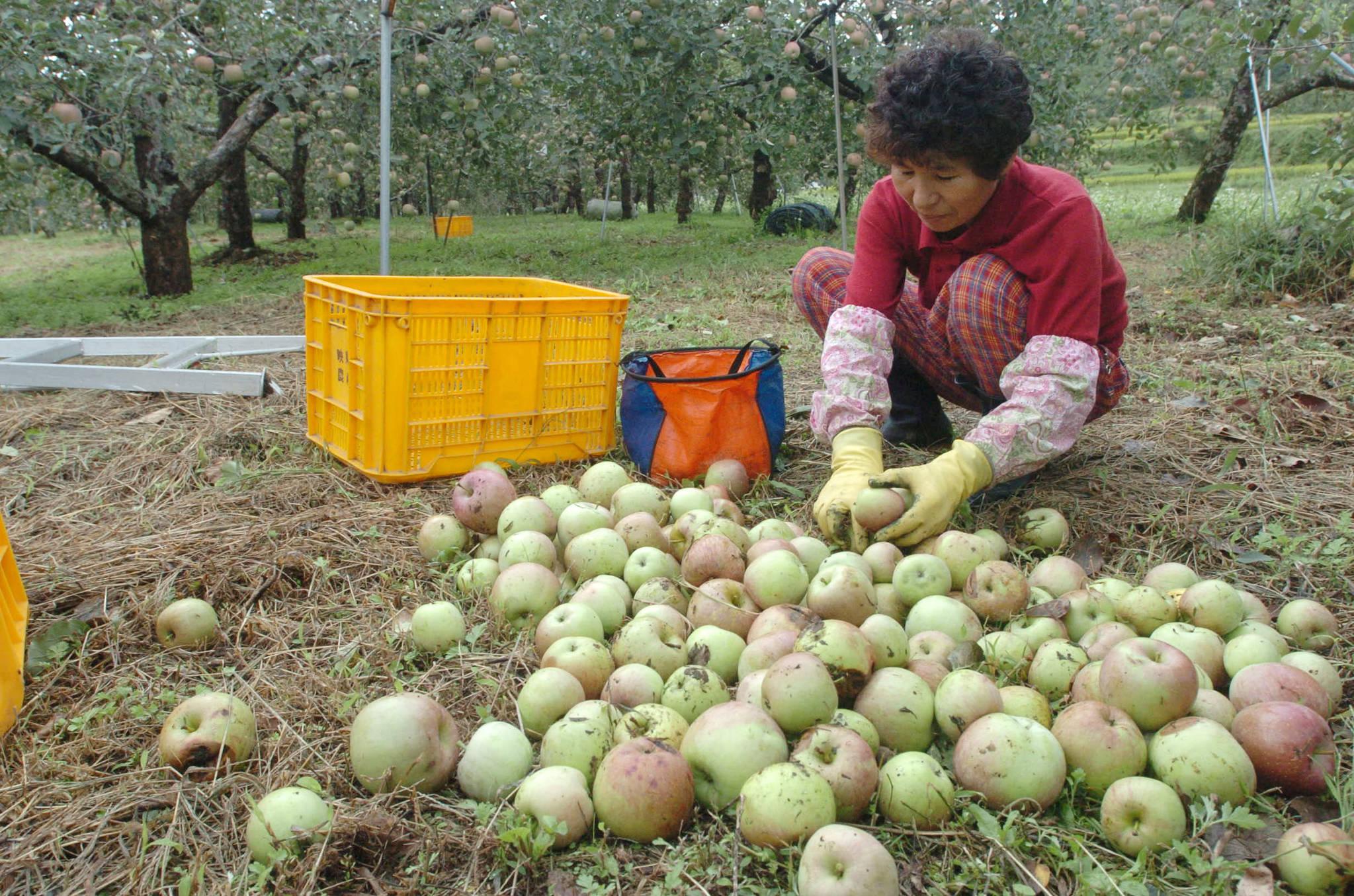 2006년 9월18일 경북 포항시 기북면 성법리 한 과수원에서 농민이 떨어진 사과를 줍고 있다.조문규 기자