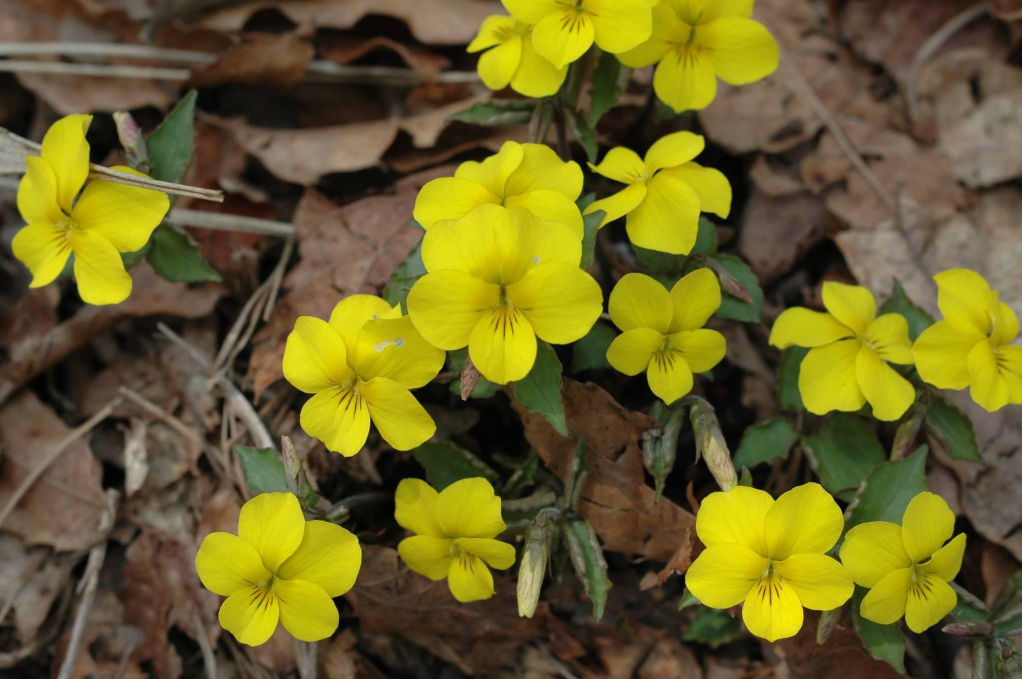노랑제비꽃 [사진 녹색연합