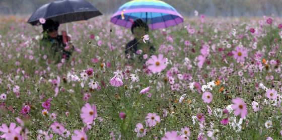 6일 울산시 중구 태화강대공원에서 우산을 쓴 시민이 비에 젖은 코스모스 사이로 산책하고 있다. 비는 대부분 그쳤으나 7일 아침까지 전국에 짙은 안개가 낄 것으로 예보됐다. [연합뉴스]