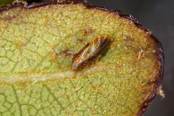 다정큼나무이. 난대성 상록활엽수인 다정큼나무를 먹고 자라는 곤충이라고 해서 이번에 국립생물자원관이 '다정큼나무이'로 이름을 붙였다.[사진 국립생물자원관]