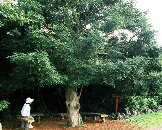 비자나무 [중앙포토]