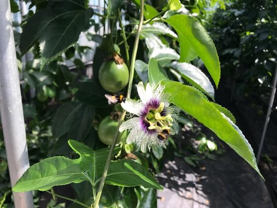 아열대과일 패션프루트의 꽃에 호박벌들이 모여들어 꽃가루를 묻히고 있다. 최충일 기자