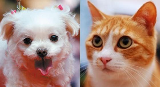 한국인 가장 많이 기르는 반려동물 중 견(犬) 부분 1위를 차지한 말티즈(왼쪽)과 고양이 부문 1위를 차지만 코리안숏헤어. [중앙포토]