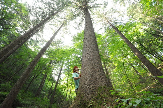 전북 무주군 덕유산 자연휴양림내 독일가문비 나무숲. 1940년대 조림했다. [사진 산림청]