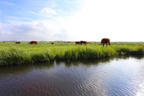 비어리븐 비든 국립공원에 방목해 놓은 소.