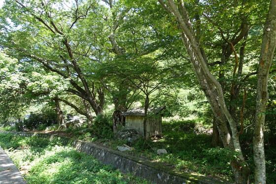 '봉화소개골 오미자농원' 바로 앞에 있는 소개골 당집. 커다란 느티나무와 음나무 아래 '할매당산'을 모셨다. 할매이기 때문에 당제 때 술을 올리지 않는다고 한다. 이웃 마을에 짝을 이루는 '할배당산'이 있다.