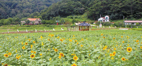 봉대마을은 돼지 막사 악취가 풍기던 마을에서 해바라기 등 수많은 꽃이 자라는 경관환경마을로 입지를 다져가고 있다. [사진 농림축산식품부]