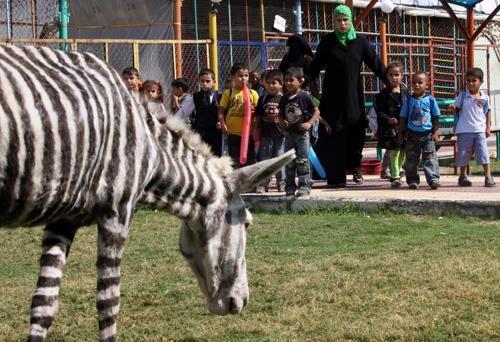 팔레스타인 가자지구의 가자동물원 . 예산이 부족한 이 동물원은 당나귀에 줄을 그어 얼룩말처럼 보이게 했다 . [ 사진 마더 네이처 네트워크 ]
