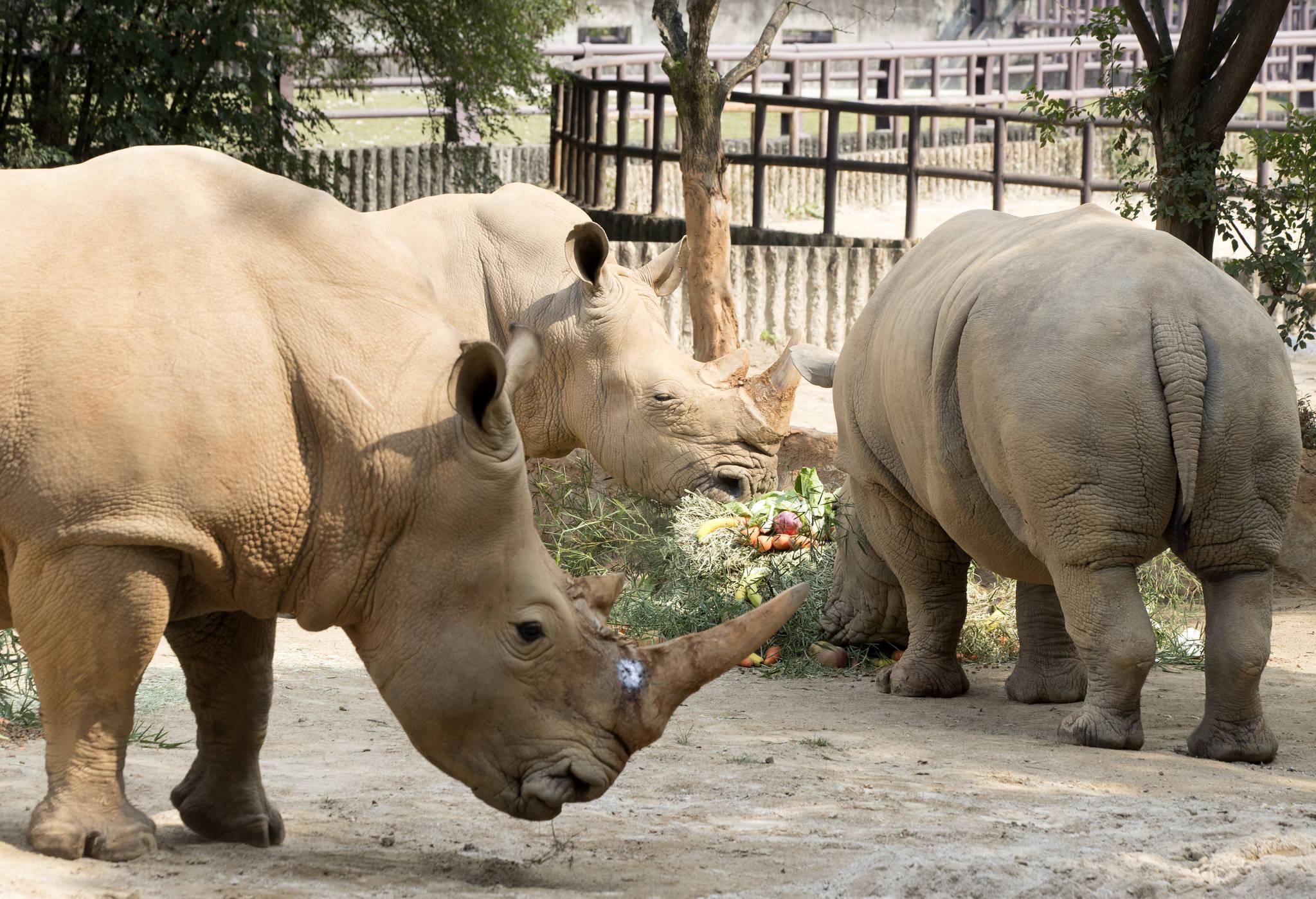 세계 코뿔소의 날인 지난달 22일 오후 과천 서울대공원 동물원에서 코뿔소들이 특별재료로 제작된 케이크를 맛보고 있다. [연합뉴스]