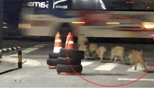 2일 오후 10시30분 께 청주시 상당구에서 발견된 멧돼지 6마리 [독자 제공=연합뉴스]