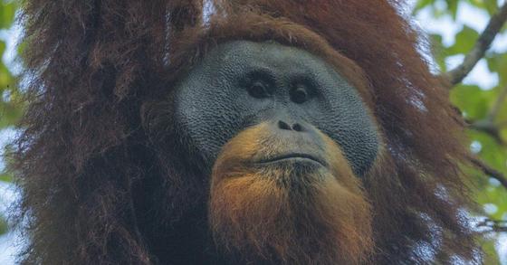 새로 발견된 타파눌리 오랑우탄 수컷. [수마트라오랑우탄보전프로그램(SOCP) 홈페이지 캡처]