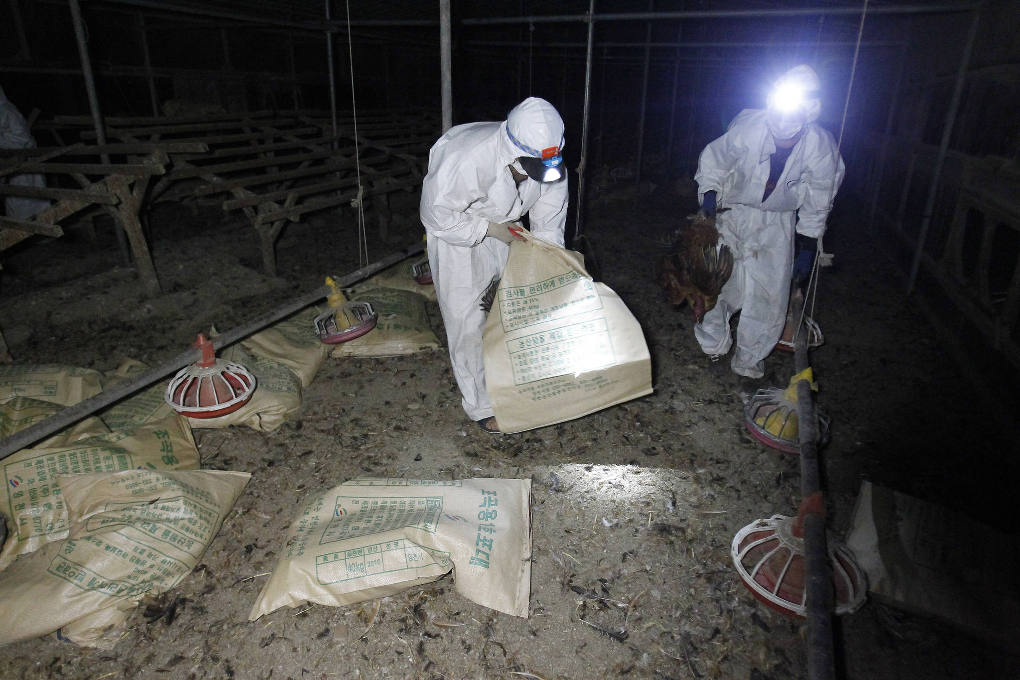 지난 8월 계란과 닭에서 모두 DDT(디클로로디페닐트라클로로에탄) 성분이 검출됐던 경북 영천의 토종닭 사육농장에서 닭 폐기작업이 진행되고 있다. 프리랜서 공정식