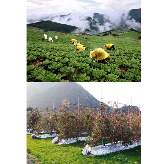 지국 온난화로 기온이 상승하면서 남쪽에 몰려 있던 과일 산지가 북쪽으로 이동하고 있다. 고랭지 배추 대신 사과를 키우는 강원도 정선의 한 사과 농장.