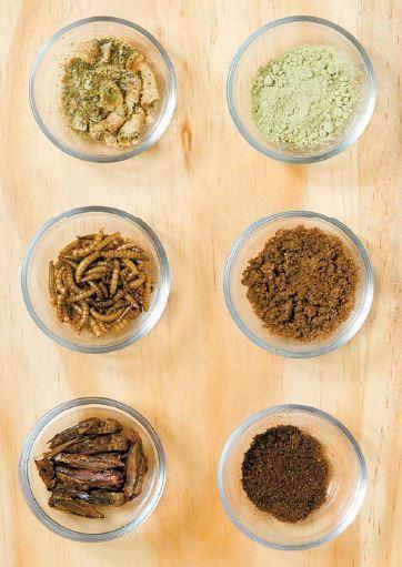 식용곤충은 건조 후 분말형태로 요리에 이용한다. 위에서부터 굼벵이, 고소애, 귀뚜라미. 장진영 기자