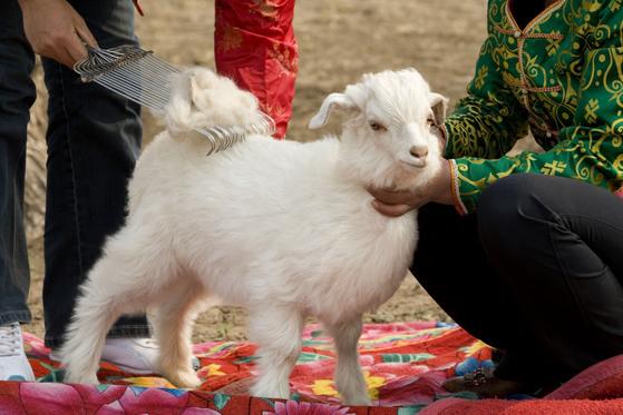 로로피아나는 캐시미어를 얻을 때 아기 염소의 털을 빗질한 뒤 빗에 묻어있는 속털만 골라 사용한다. 이 과정은 염소가 자란 농장에서 인도적인 방식으로 진행된다. [사진 로로피아나]