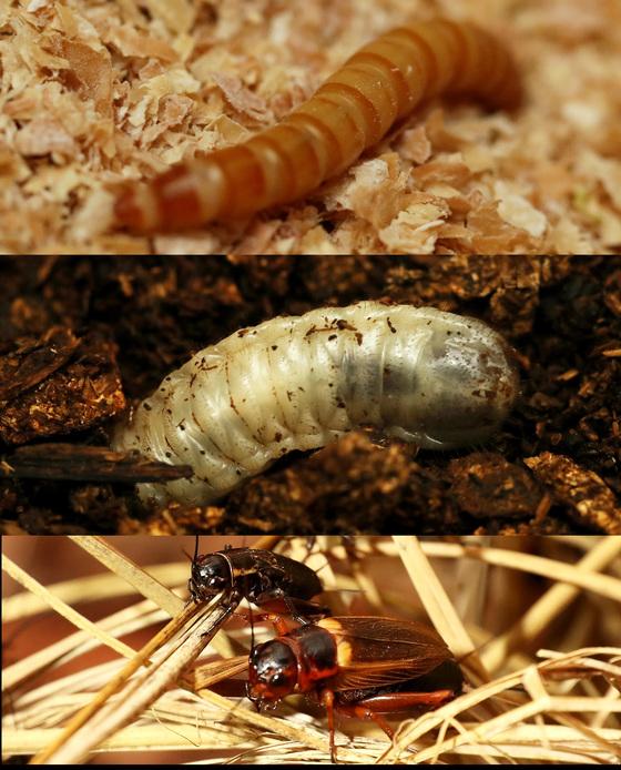 위에서부터 갈색거저리(고소애), 흰점박이애벌레, 쌍별 귀뚜라미. 직접 만져보는 체험이 가능하다. 장진영 기자