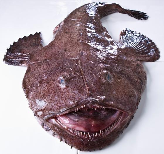 아귀는 입이 몸의 절반을 넘을 정도로 크다. 먹이를 통째로 삼켜 위에서 녹여 영양을 섭취한다. 실제로 아귀를 사다가 조리해보면 멀쩡한 생선이 통째로 나오는 경우가 많다. '아꾸 먹고 가자미 먹고'라는 속담도 있다. [중앙포토]