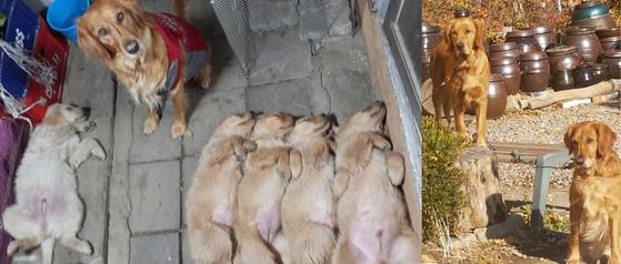 개도 강아지 때는 사람처럼 등을 대고 누워 자곤 한다. 지난해 말 이웃집 개가 낳은 새끼가 다 자라 '엄마'를 쏙 빼닮았다(우측 사진 속 오른쪽 개가 새끼)