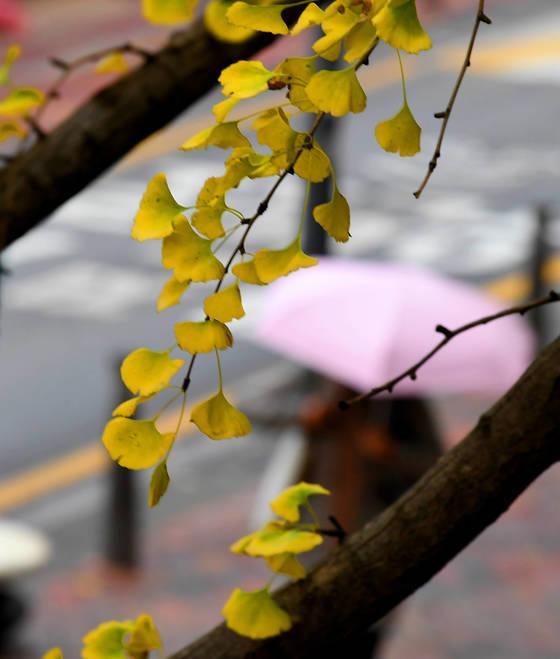 겨울을 재촉하는 비가 살짝 내린 13일 오전 서울 중구 정동길에서 노란 은행 나뭇잎 사이로 우산을 쓴 시민이 출근을 하고 있다. 대학수학능력 시험 예비소집일인 22일에도 전국적으로 비가 조금 내릴 것으로 예보됐다. [연합뉴스]