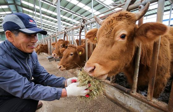 전북 고창군 공음면 '수호농장'에서 농장 직원이 소에게 먹이를 주고 있다. 청정지역인 고창은 한우 사육의 최적지로 꼽힌다. [프리랜서 장정필]