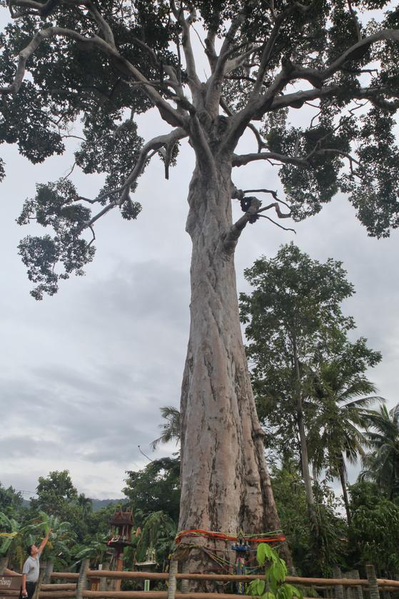 수령 500년으로 추정되는 이행나무. 높이가 무려 50m에 달한다.
