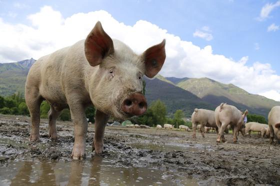 대부분이 폐기되고 있는 돼지 심장근육에서 영양소가 풍부하고 체내 흡수율이 높은 단백질을 추출하는 기술이 개발됐다. [중앙포토]