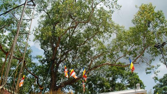 스리랑카의 아누라다푸라에 있는 '붓다의 보리수'. 스리랑카 정부는 '국보 중의 국보'로 취급한다.
