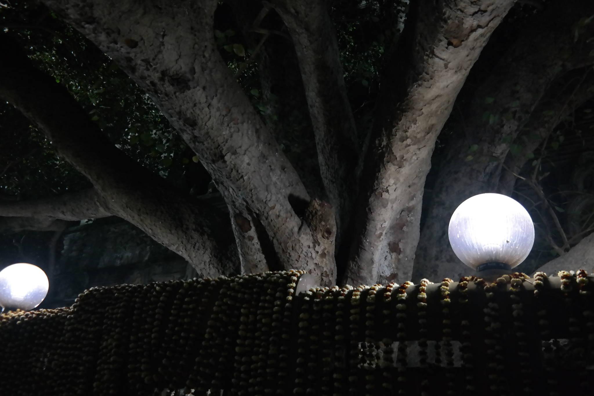 인도 북부의 보드가야에 있는 붓다의 보리수. 싯다르타는 이 보리수 아래에 앉아서 명상에 들었다. 주위 난간 위에 순례객들이 두고간 꽃목걸이가 줄지어 걸려 있다. 백성호 기자